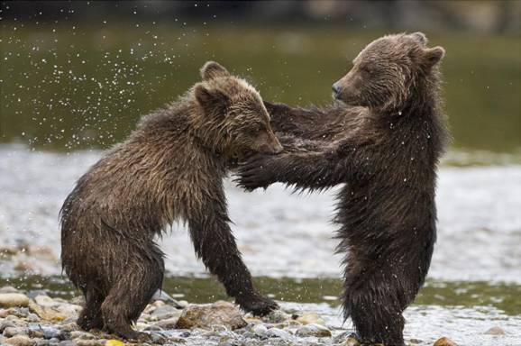 disneynature bears